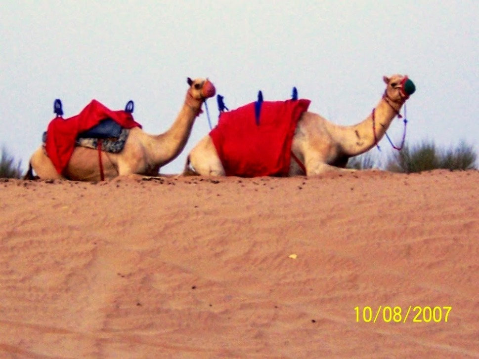 Camels waiting for riders