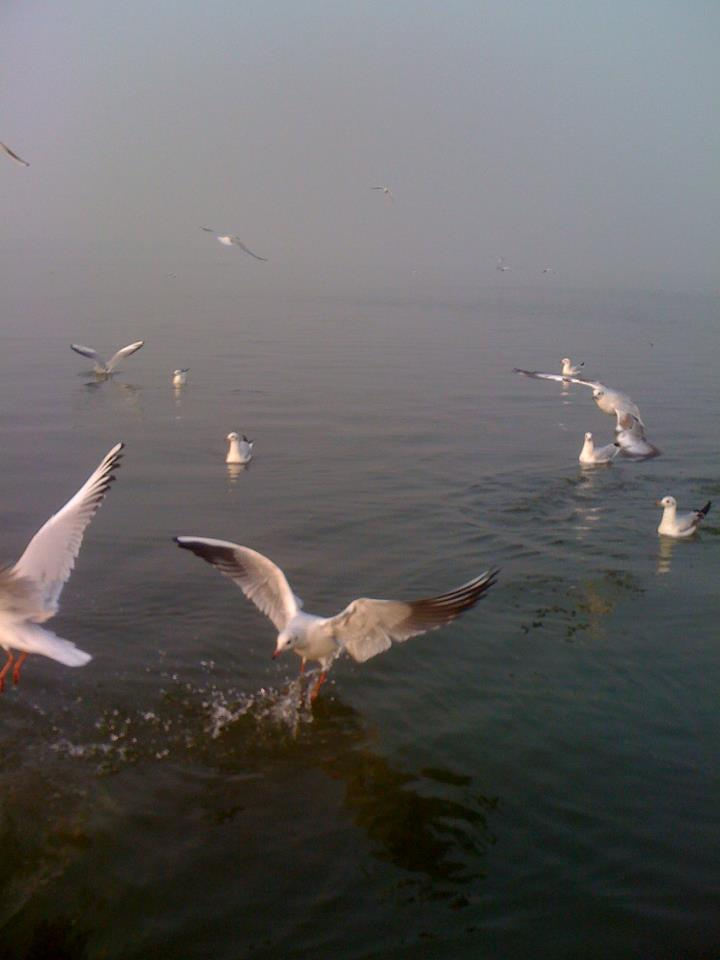 Siberian gulls diving to catch food at the Sangam in Allahabad